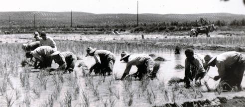 Plantación de Arroz en Villalba - Marmolejo